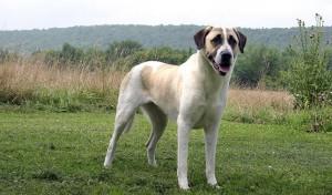 Anatolian Shepherd & Kangal Dog