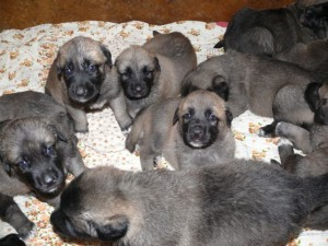 Kangal Dog Internationally