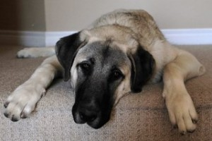 Kangal Temperament