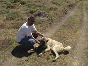 Why Adopt a Kangal Dog?