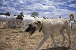 Livestock Guarding Dogs (Ba Kiwanuka)